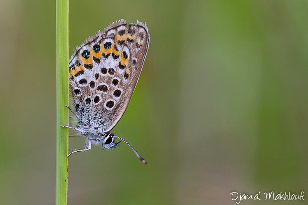 Petit argus - Plebejus argus - Papillons Argus