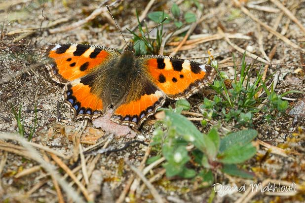 Papillon Petite Tortue (Aglais urticae) photo