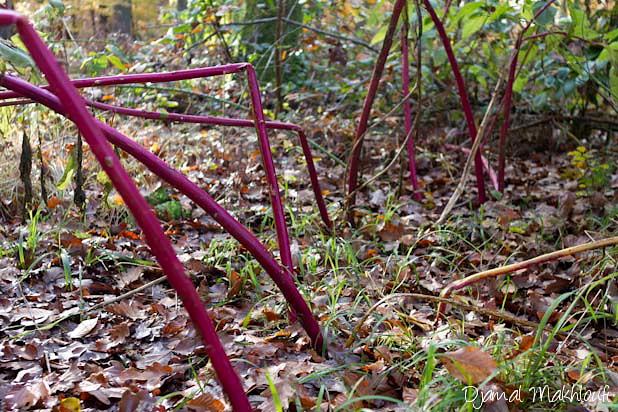 Pieds de phytolacca americana - Plante invasive en forêt de Fontainebleau