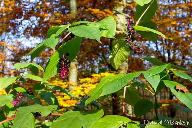 Phytolacca americana - Teinturier - Épinard de Cayenne
