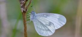 Piéride de la moutarde - Papillon blanc