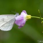 Piéride de la moutarde - Papillon blanc de la forêt de Fontainebleau