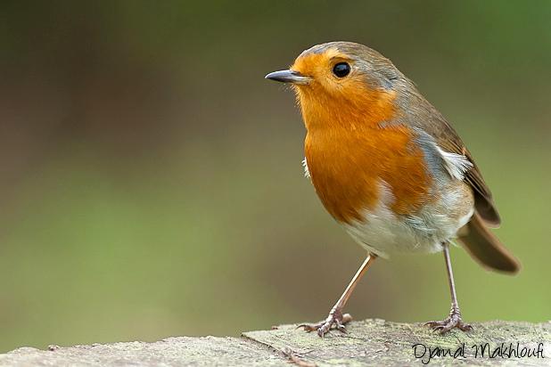 Rouge gorge (Erithacus rubecula) - Les oiseaux du jardin