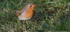 Rouge gorge (rouge-gorge) - Oiseau des jardins