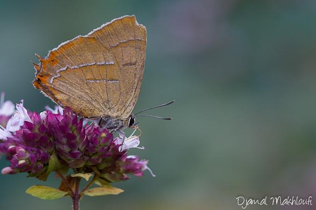 Thécla du bouleau - Thecla betulae - Papillons Argus