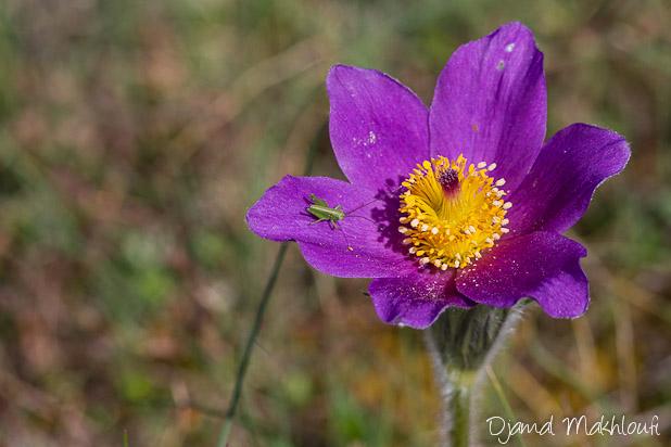 Anémone pulsatille - Fleur du printemps