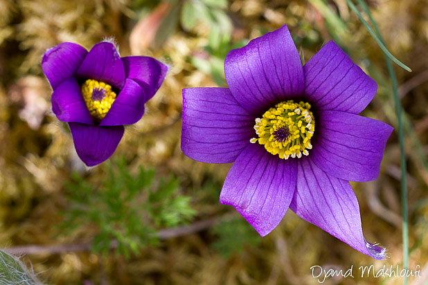 Anémone pulsatille - Fleur sauvage de la forêt de Fontainebleau