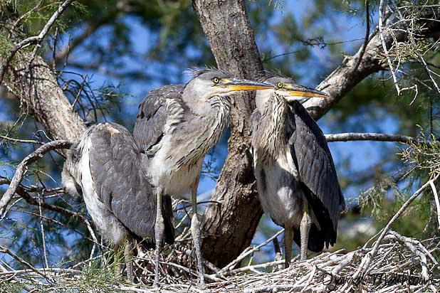 Hérons cendrés juvéniles au nid