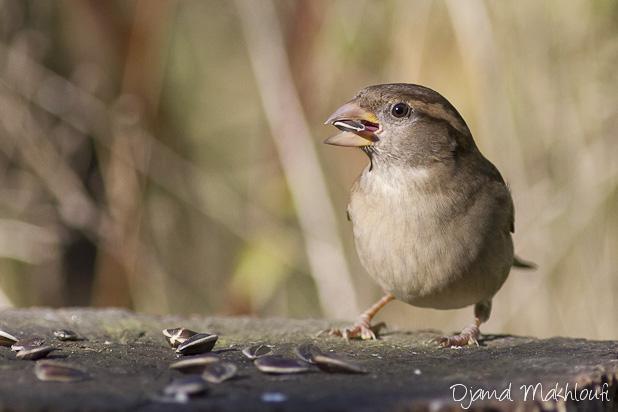 Moineau domestique femelle - Piaf | Oiseau | Photo