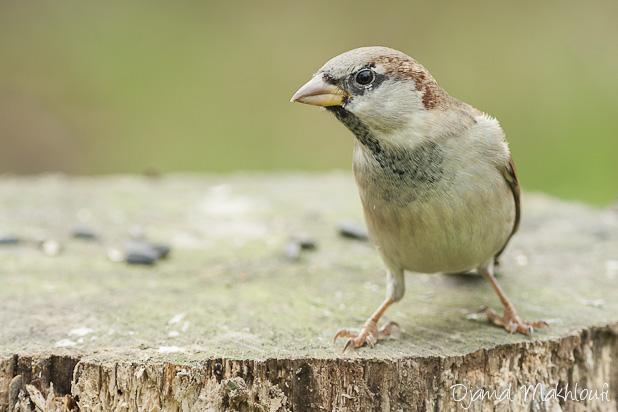 Moineau domestique mâle - Oiseau des villes