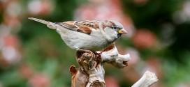 Moineau domestique - Piaf | Oiseau des villes