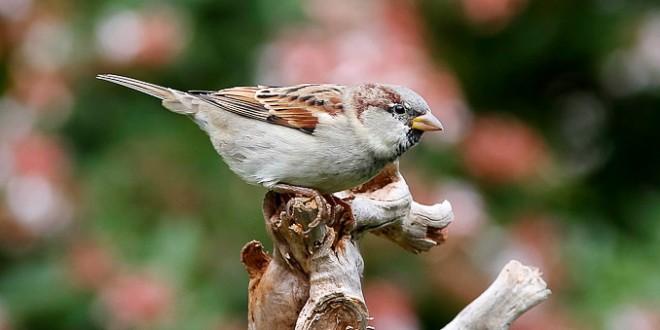 Moineau domestique - Oiseau des villes