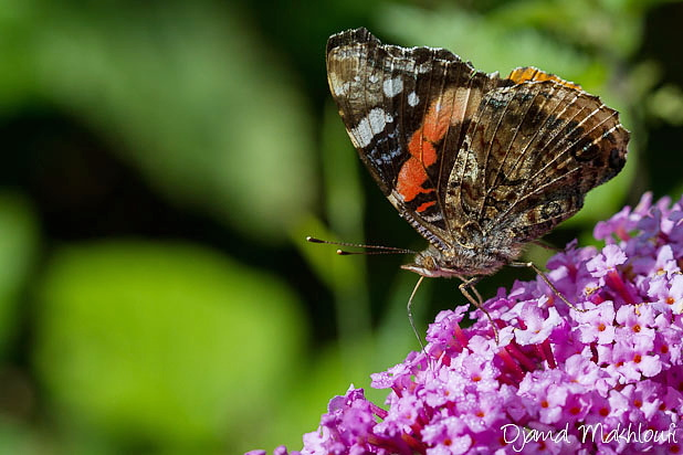 Papillon Vulcain sur du buddleia