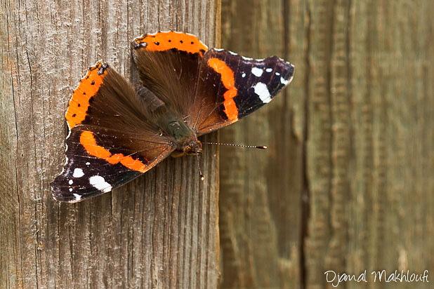 Le Vulcain - Papillon migrateur