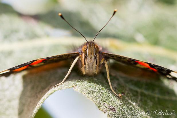 Gros plan du papillon Vulcain