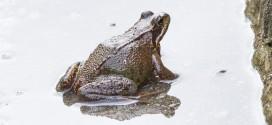 Grenouille rousse - Rana temporaria