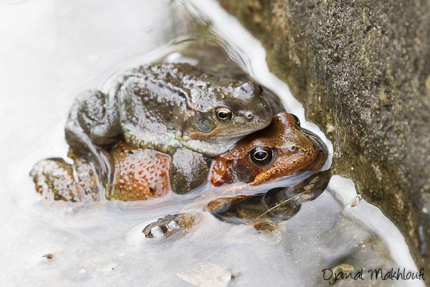 Deux grenouilles rousse en tenue de noce