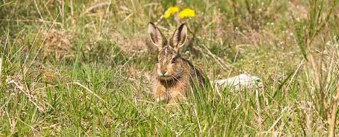 lièvre d'Europe (Lepus europaeus) mammifère de la forêt de Fontainebleau