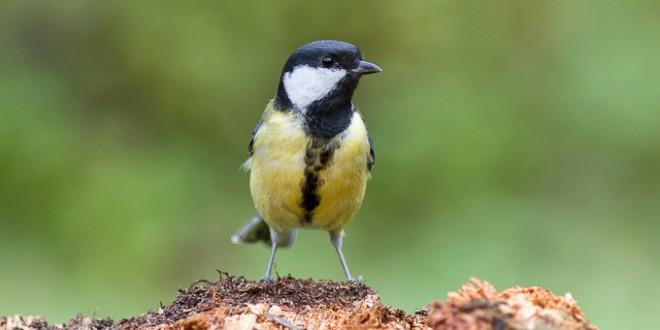 Mésange charbonnière - Oiseau des jardins