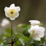 Anémone des bois - Fleurs sauvages des bois