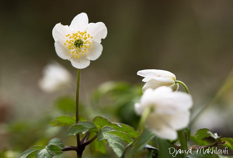 Billebaude florale de mars - Jonquille sauvage des bois ...