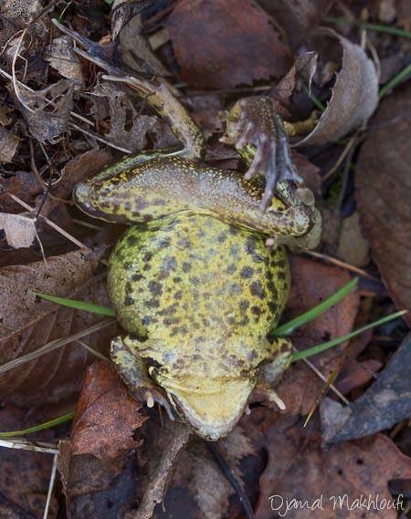Ventre de la grenouille rousse - différences entre la grenouille rousse et la grenouille agile