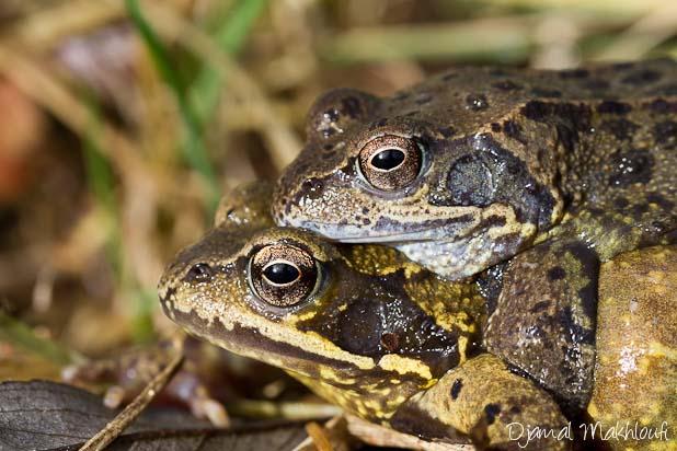Couple de grenouilles rousses -Amphibiens de la forêt de Fontainbleau
