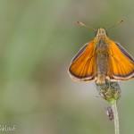 Hespérie de la houque - Thymelicus sylvestris