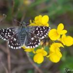 Hespérie de la mauve - Papillon de la forêt de Fontainebleau