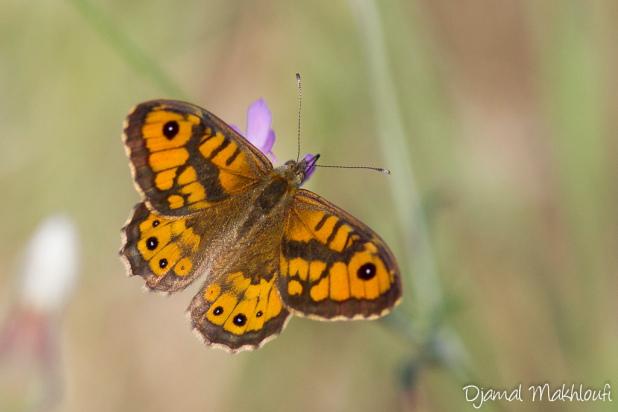Le Satyre - Papillon mâle