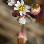 Drave du printemps - Draba verna L.