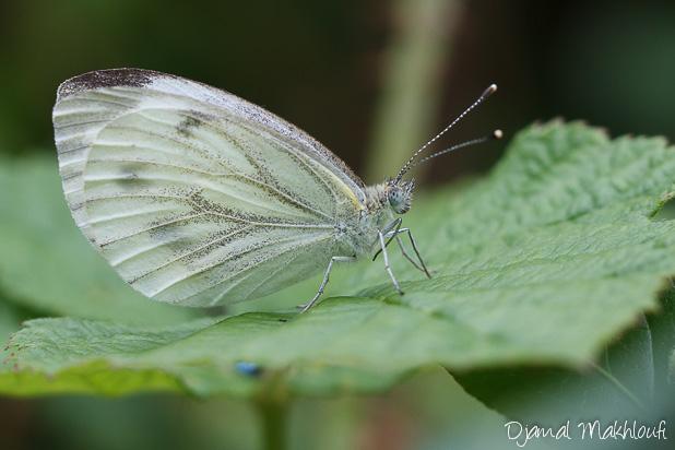 Piéride du navet femelle - Papillon blanc