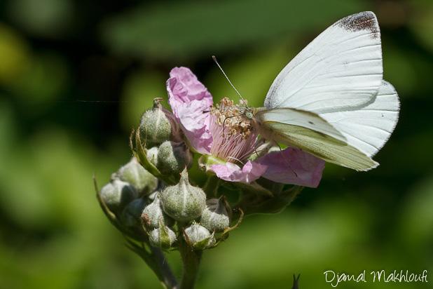 Piéride du navet mâle - Papillon blanc