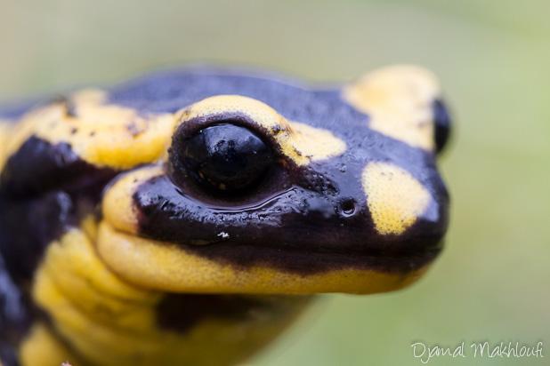 Salamandre tachetée vit-elle en forêt de Fontainebleau ?