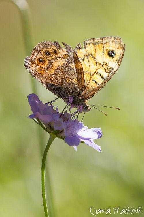 La Mégère - Papillon femelle