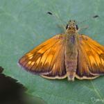La Sylvaine - Femelle - Papillon de la forêt de Fontainebleau