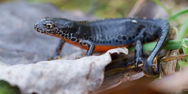 Triton alpestre - Amphibien de la forêt de Fontainebleau