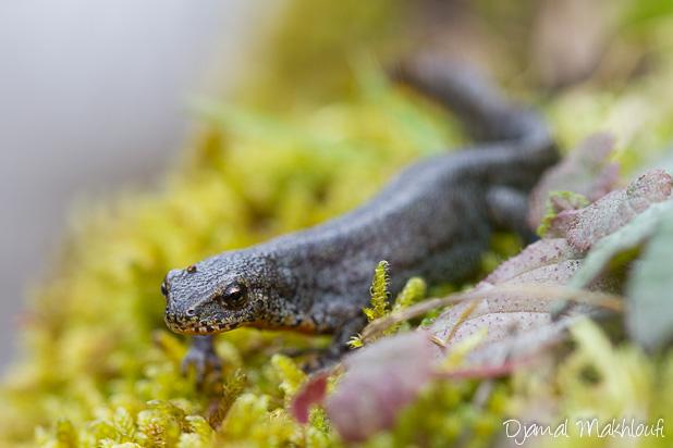 Triton-alpestre - Urodèle de la famille des salamandres