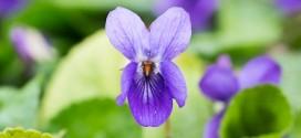 Violette des bois - billebaude florale