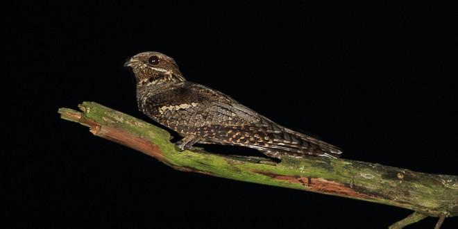 Engoulevent d'Europe - Oiseau de la forêt de Fontainebleau
