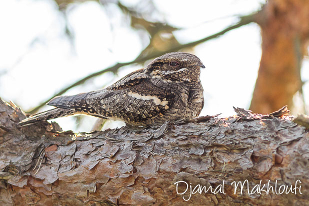 Engoulevent au repos - Oiseau de nuit - Photo