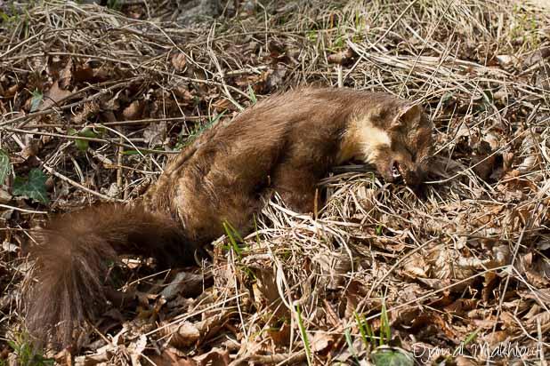Martre des pins - Mammifère de la forêt de Fontainebleau