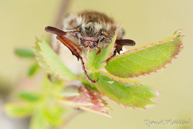 Hanneton commun - Insecte de la forêt de Fontainebleau
