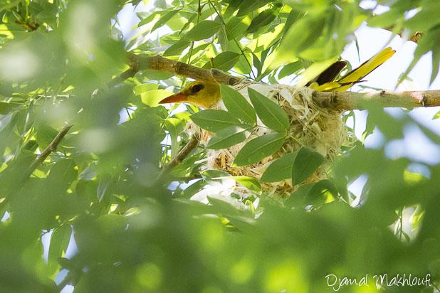 Loriot d'Europe au nid
