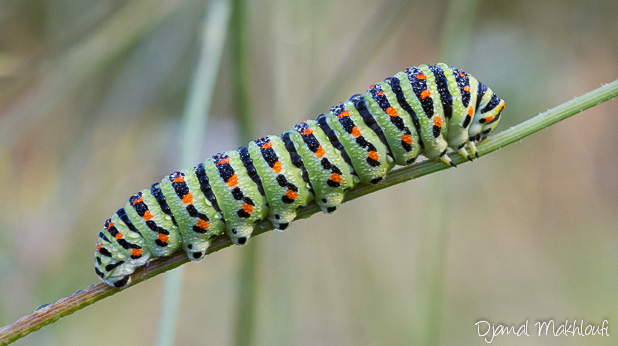 Chenille adulte de Machaon