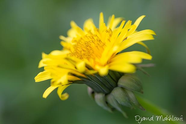 Pissenlit commun - Fleur sauvage de la forêt de Fontainebleau