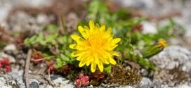 fleur soleil- Taraxacum officinale