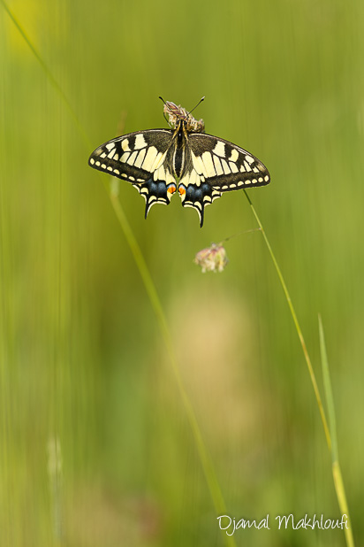 Papillon Machaon - Photo