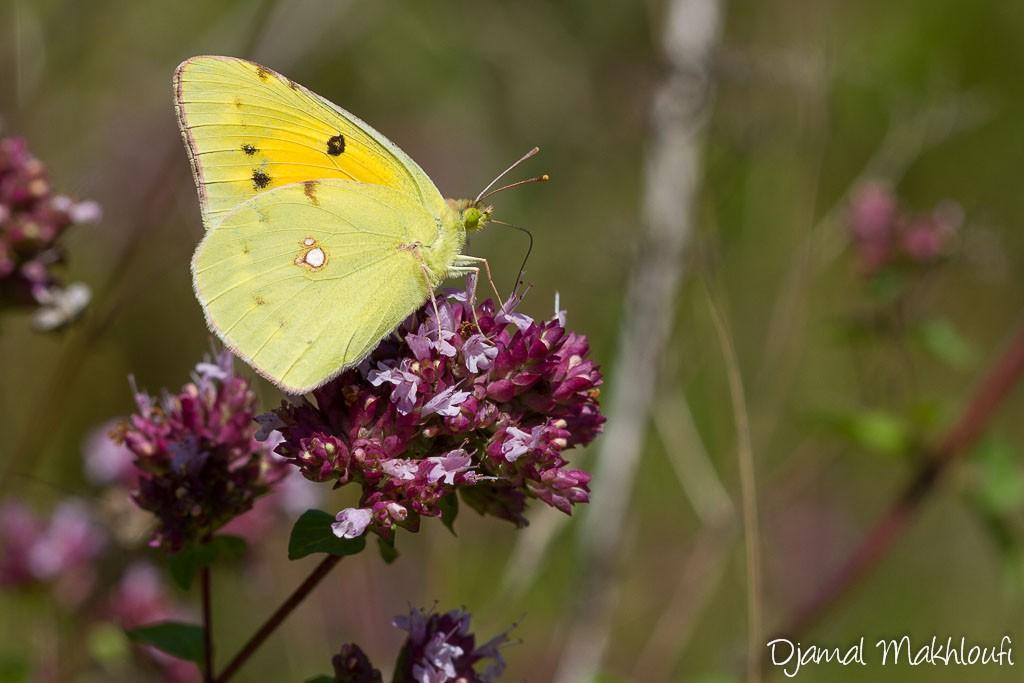 Le papillon Souci - Colias crocea