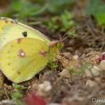 Papillon Soufré - Colias Hyale